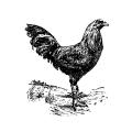 Chickens Chicken 1